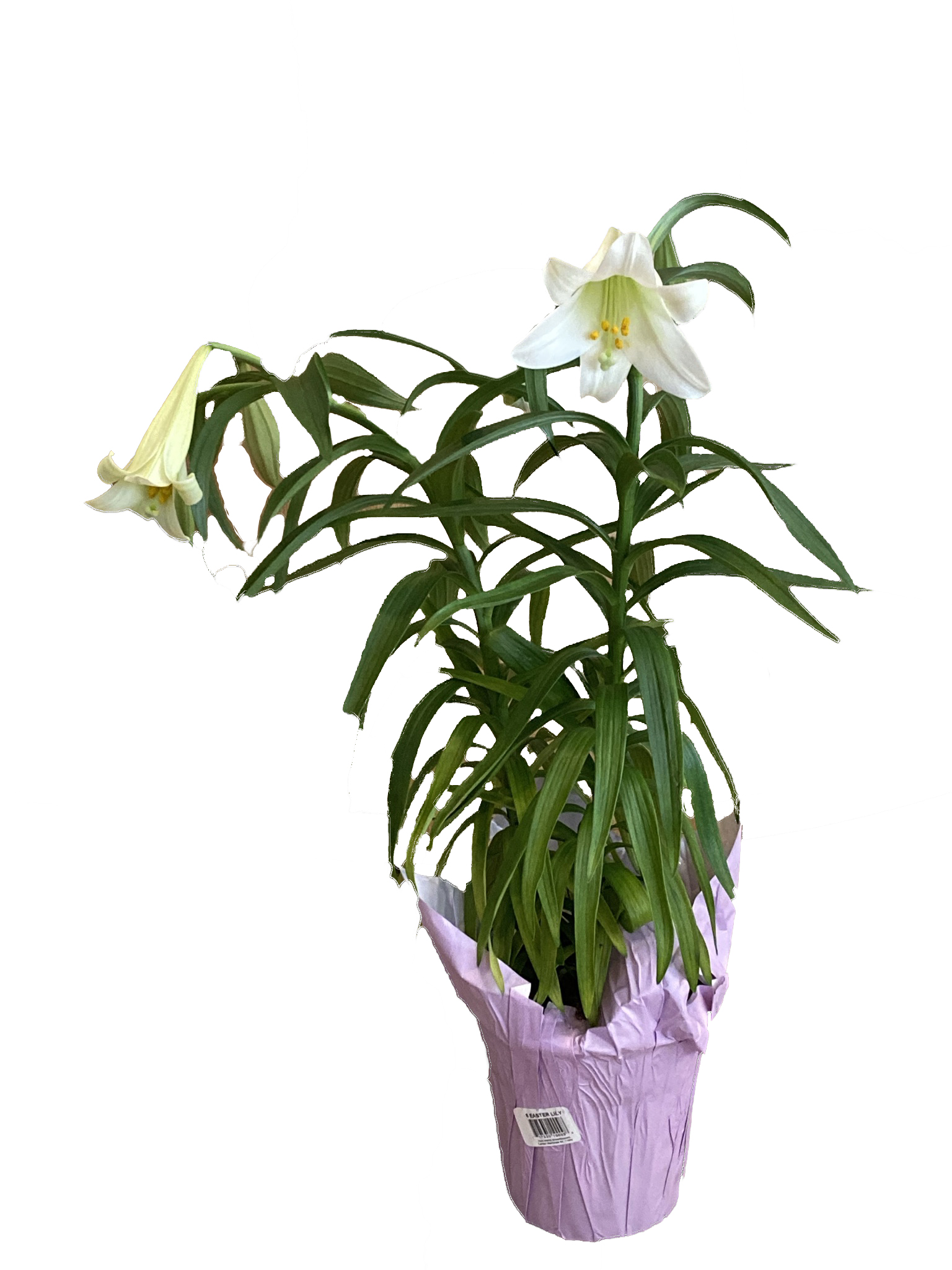 Easter Lily Plants - Chapel